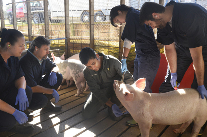 Dr. Thakur working with pigs
