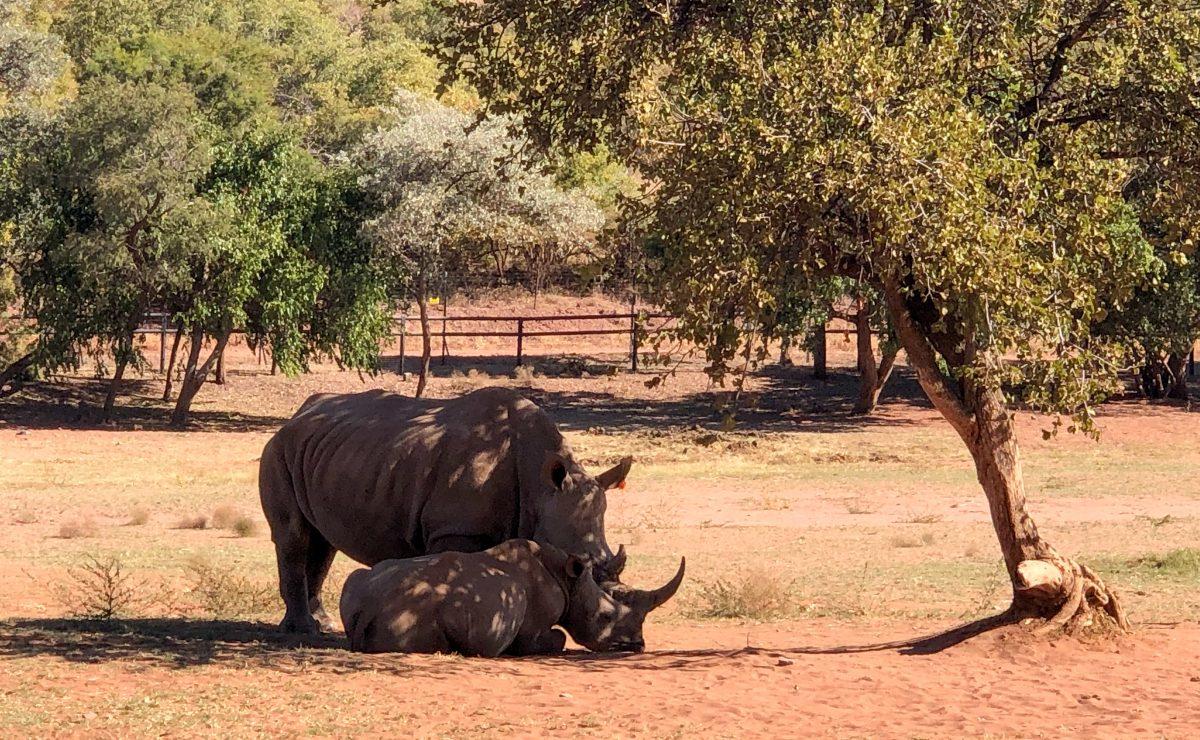 Southern White Rhinos