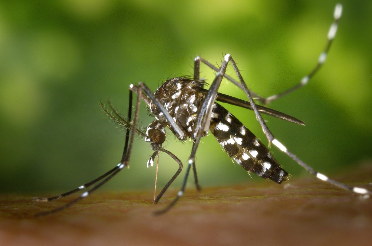Aedes aegyptis mosquito